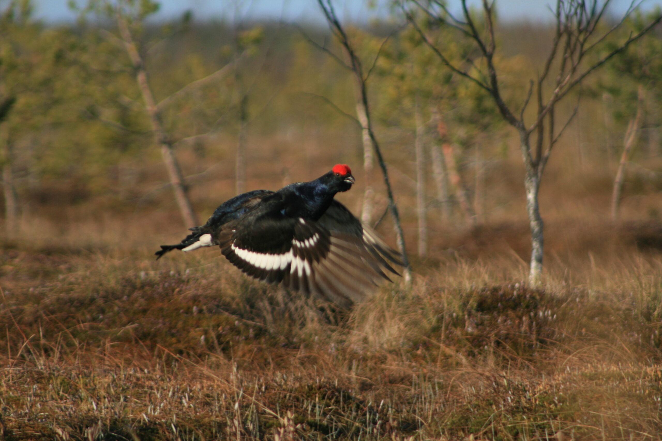 Jakt på skogsfågel med Jaktklubben